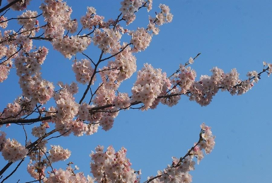 公園の桜_c0187781_21483991.jpg