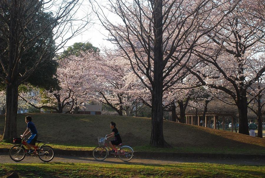 公園の桜_c0187781_21492901.jpg