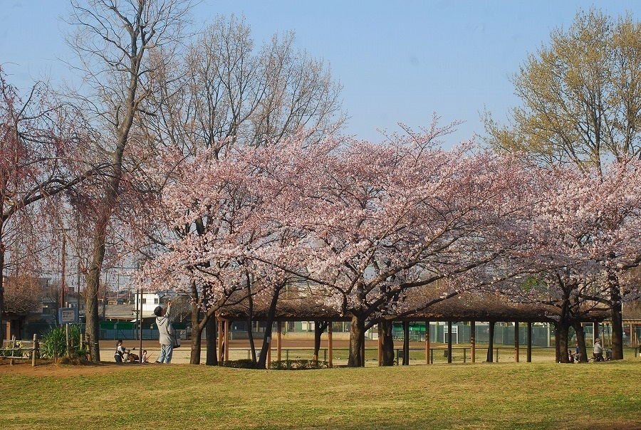 公園の桜_c0187781_21524414.jpg