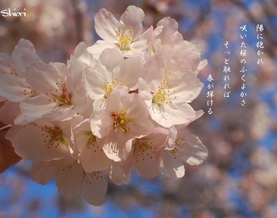 公園の桜_c0187781_23412917.jpg