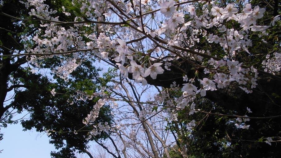 お花見_b0061387_13305073.jpg