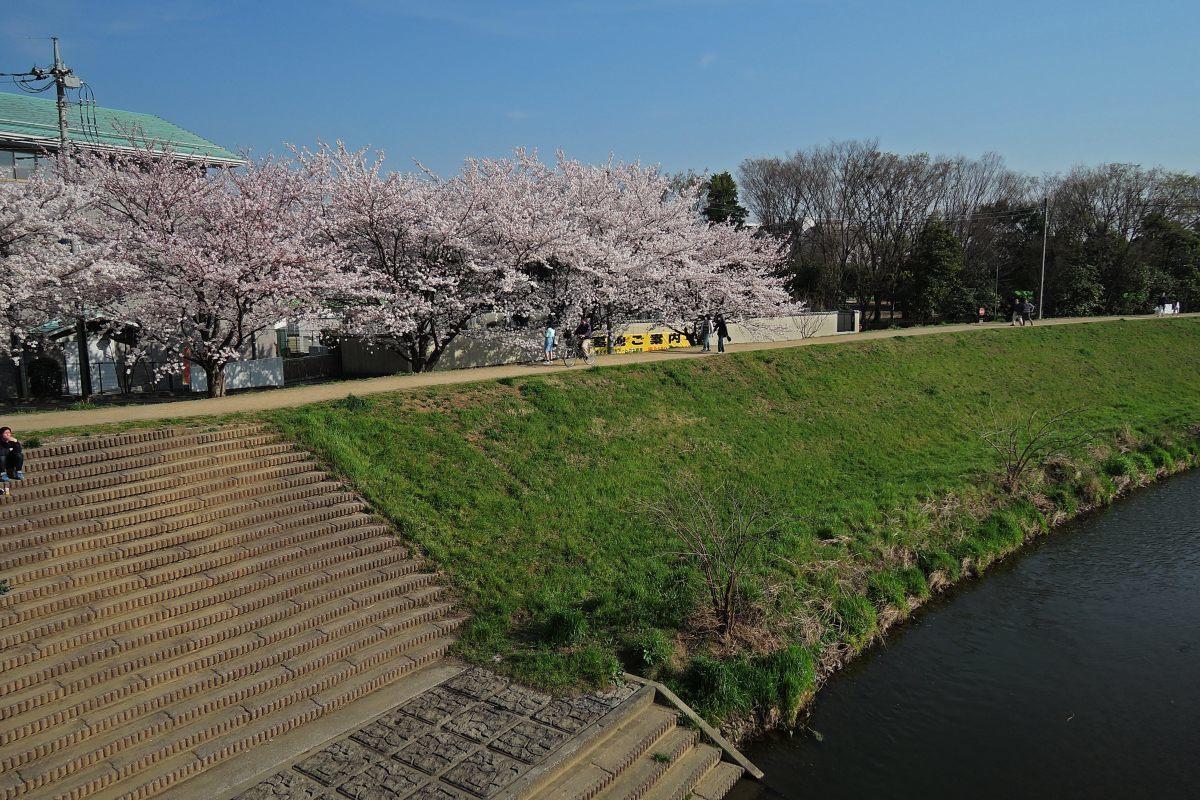 桜2015②黒目川_c0252688_19412779.jpg