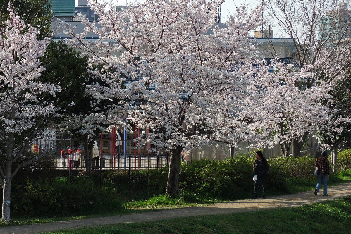 桜2015②黒目川_c0252688_19422332.jpg