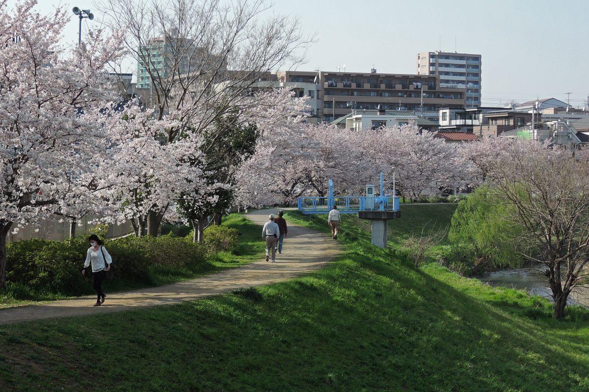 桜2015②黒目川_c0252688_19430013.jpg