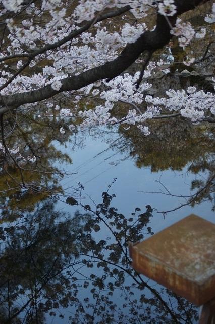 藤田八束の桜前線の旅:藤田八束の地方創生を考える、桜と観光、日本の桜は世界一_d0181492_21402163.jpg