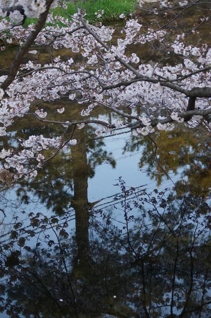 藤田八束の桜前線の旅:藤田八束の地方創生を考える、桜と観光、日本の桜は世界一_d0181492_2140767.jpg