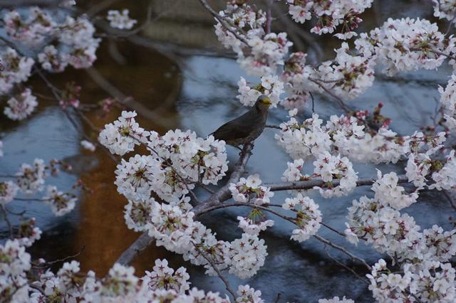 藤田八束の桜前線の旅:藤田八束の地方創生を考える、桜と観光、日本の桜は世界一_d0181492_21412968.jpg