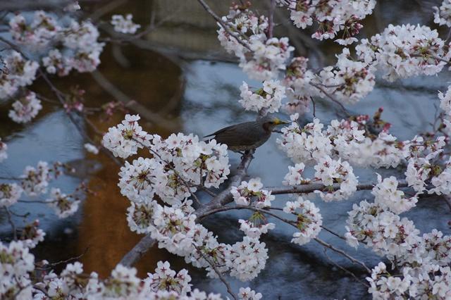 藤田八束の桜前線の旅:藤田八束の地方創生を考える、桜と観光、日本の桜は世界一_d0181492_21415234.jpg