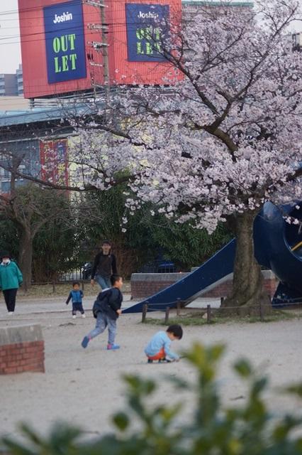 藤田八束の桜前線の旅:藤田八束の地方創生を考える、桜と観光、日本の桜は世界一_d0181492_2144714.jpg