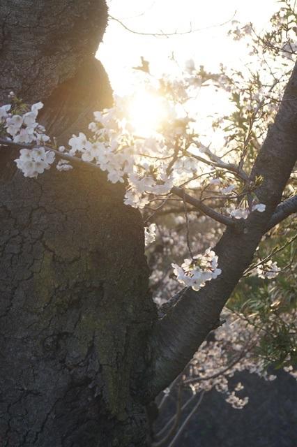 藤田八束の桜前線の旅:藤田八束の地方創生を考える、桜と観光、日本の桜は世界一_d0181492_21472124.jpg