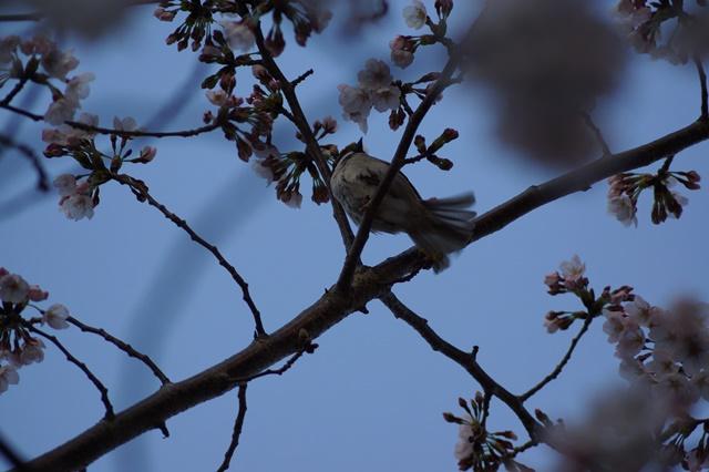 藤田八束の桜前線の旅:藤田八束の地方創生を考える、桜と観光、日本の桜は世界一_d0181492_21491593.jpg