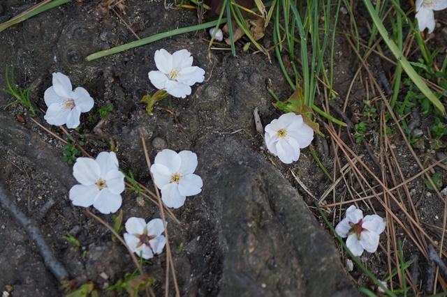 藤田八束の桜前線の旅:藤田八束の地方創生を考える、桜と観光、日本の桜は世界一_d0181492_21492978.jpg