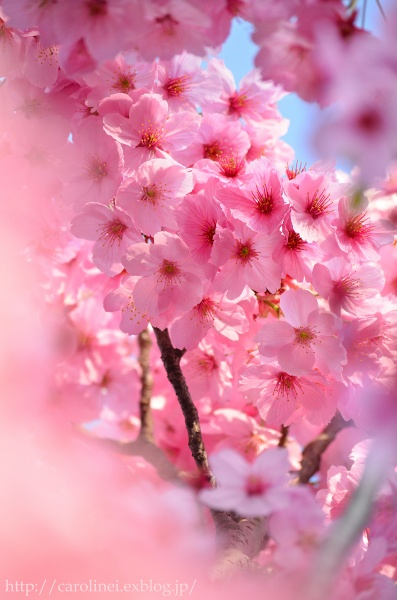 ご近所お花見  Cherry Blossom Viewing_d0025294_2116572.jpg
