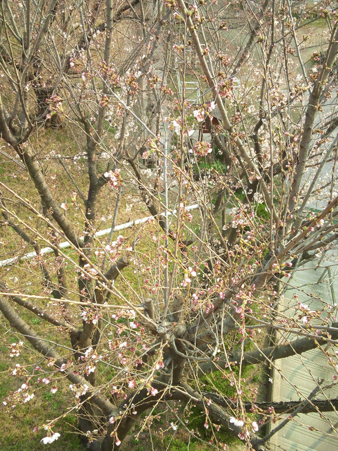 桜は・・・_a0045697_17441741.jpg