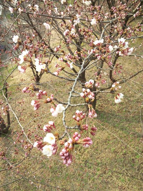 桜は・・・_a0045697_17444918.jpg