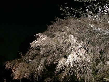 sakura._f0038600_22124052.jpg