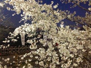 夜桜散歩_c0203401_15155427.jpg