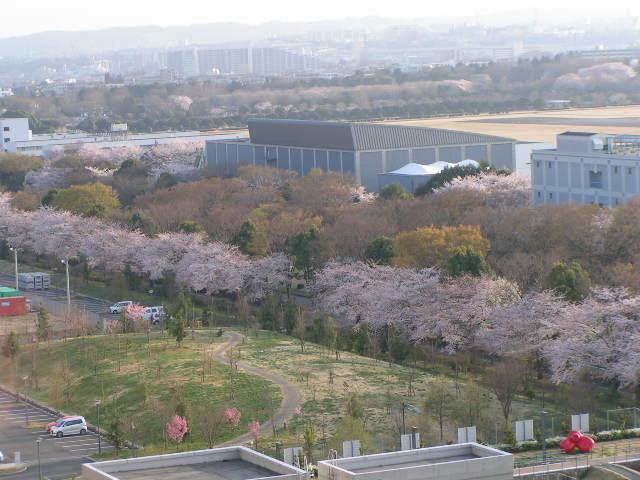 桜が満開_e0148909_17175979.jpg