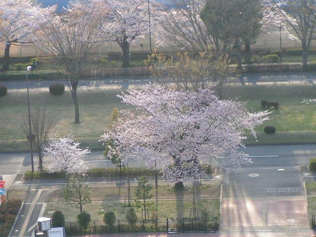 桜が満開_e0148909_17181297.jpg