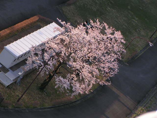 桜が満開_e0148909_17182166.jpg