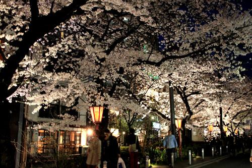 木屋町満開 15桜だより10_e0048413_23321297.jpg