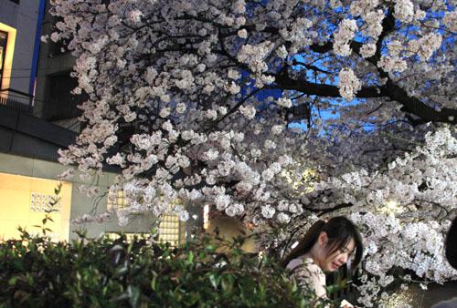 木屋町満開 15桜だより10_e0048413_23324725.jpg