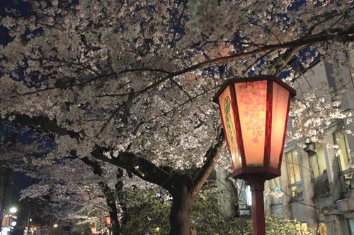 木屋町満開 15桜だより10_e0048413_2333066.jpg
