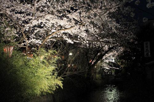 木屋町満開 15桜だより10_e0048413_23332610.jpg