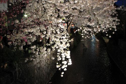 木屋町満開 15桜だより10_e0048413_2333840.jpg