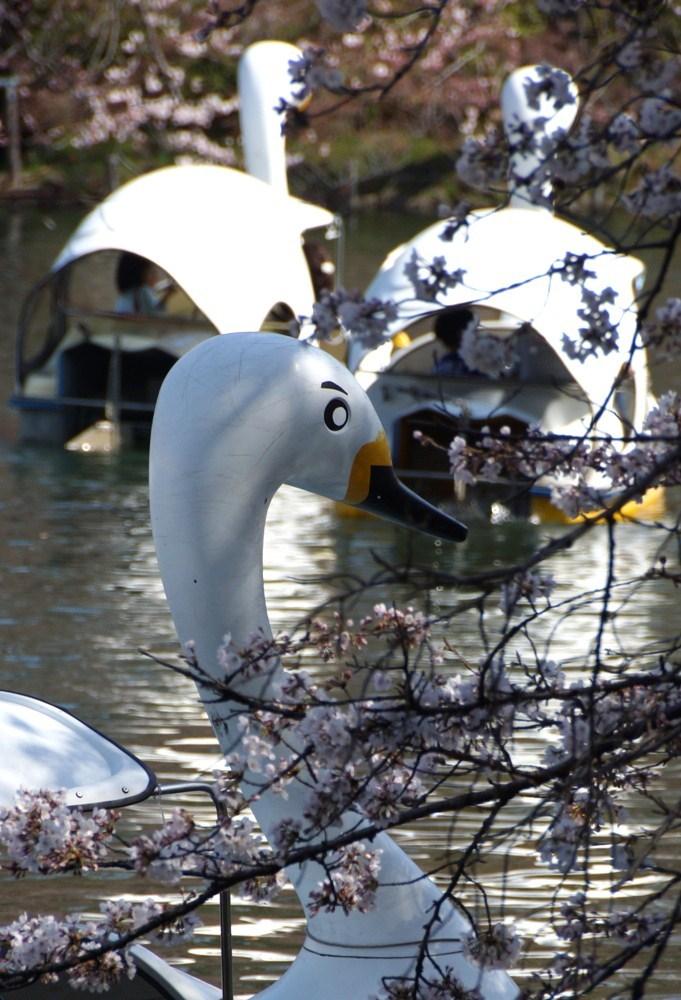 男眉の白鳥with桜_f0006713_22151942.jpg