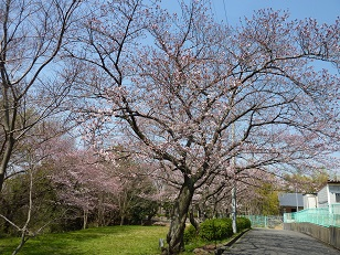 昨日の桜(30日)@王仁公園_a0177314_18175733.jpg