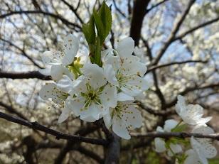 昨日の桜(30日)@王仁公園_a0177314_18191873.jpg