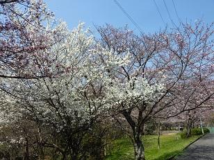 昨日の桜(30日)@王仁公園_a0177314_1819191.jpg