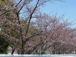 昨日の桜(30日)@王仁公園_a0177314_1833917.jpg
