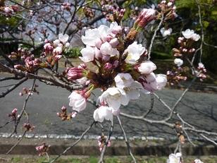 昨日の桜(30日)@王仁公園_a0177314_1842249.jpg