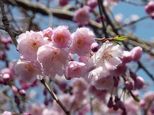 昨日の桜(30日)@王仁公園_a0177314_1854122.jpg
