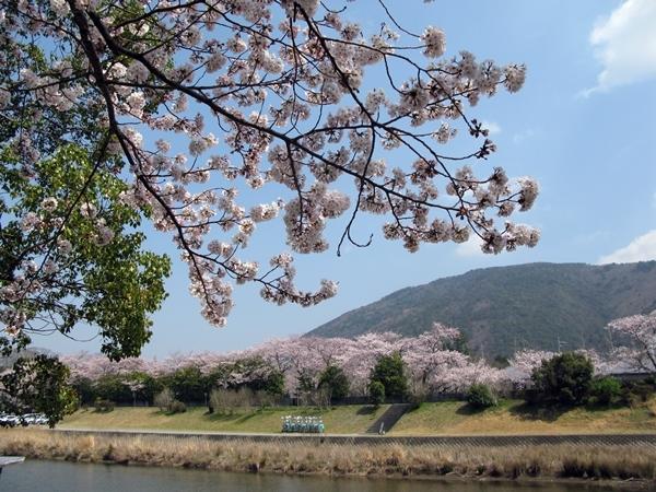 おかげ横丁 おはらい町 桜情報_f0129726_22031386.jpg