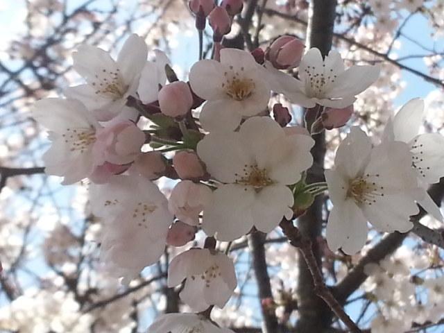 桜見物_d0157745_19144359.jpg