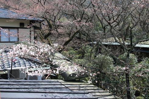 桜実況中継_c0078659_12504720.jpg