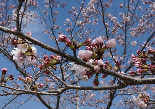 北条大池の桜、開花情報第二弾です!_b0124462_10525590.jpg