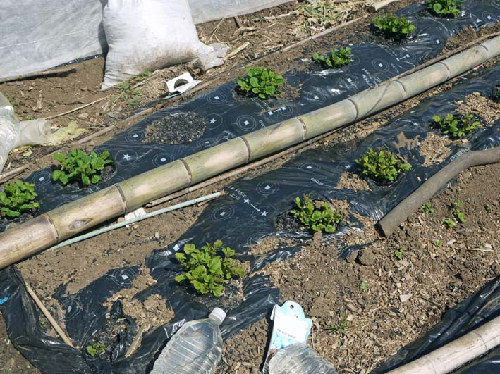 オクラ種まき&ネギ土作り&ジャガイモの被害軽微3・31_c0014967_17392028.jpg