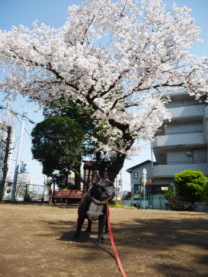 今日の桜_a0027275_214480.jpg