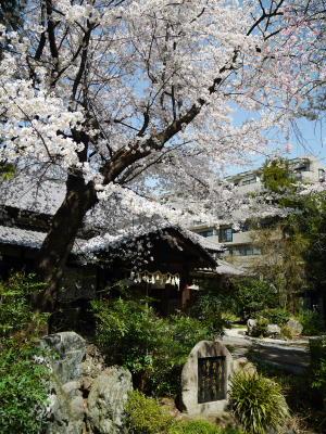 今日の桜_a0027275_2145058.jpg