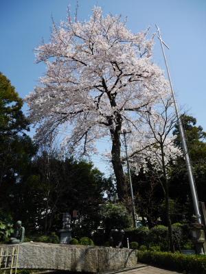 今日の桜_a0027275_2162520.jpg