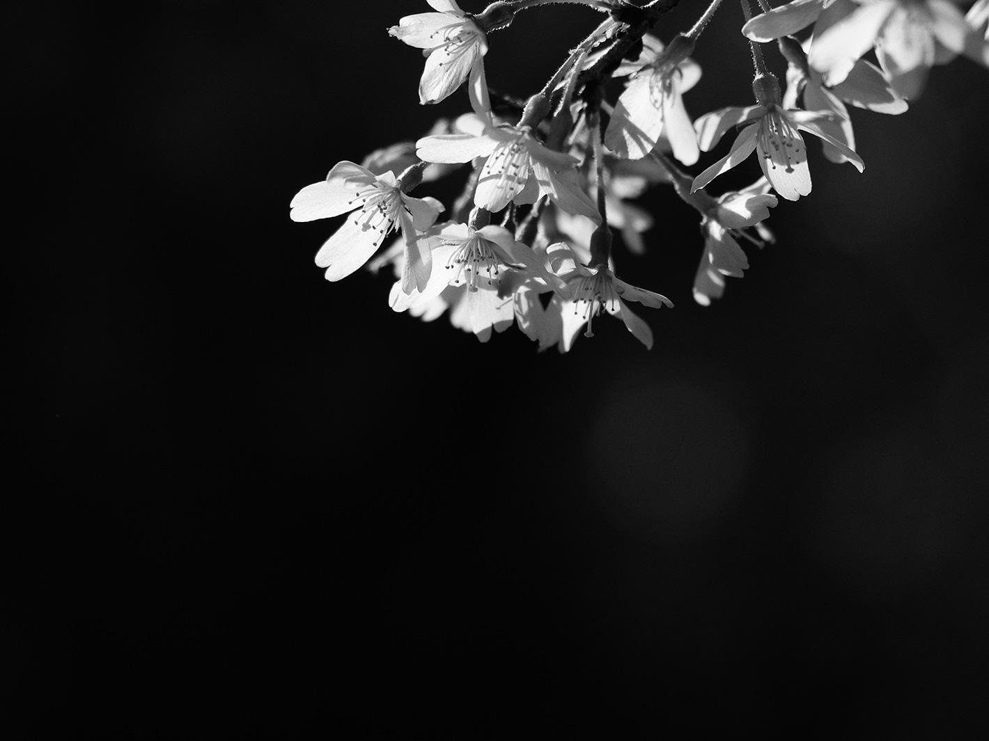 桜_f0121181_4274123.jpg