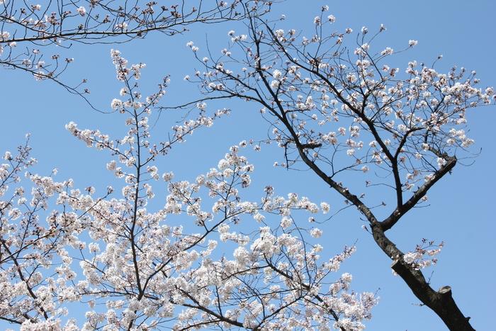お花見の季節の おうち居酒屋 mickimchi亭 _a0223786_119636.jpg