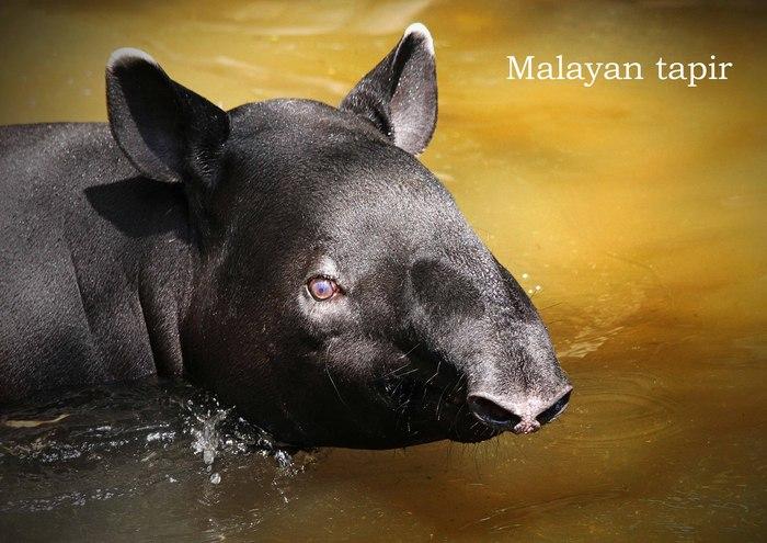 マレーバク:Malayan tapir_b0249597_524143.jpg