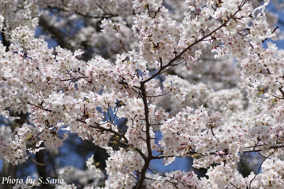称名寺の桜_b0348205_22214266.jpg