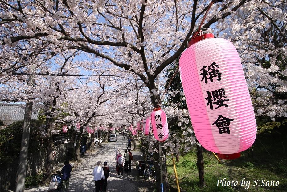 称名寺の桜_b0348205_22220571.jpg