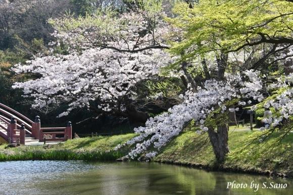 称名寺の桜_b0348205_22223096.jpg